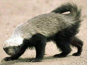 Барсук-медоед. Фото с сайта badgers.org.uk