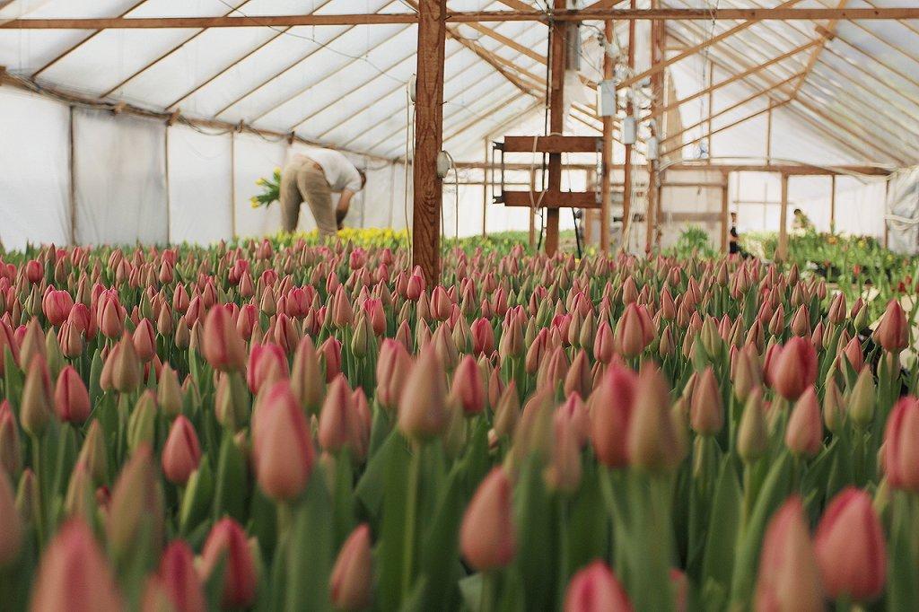 Видео выращивание тюльпанов 57