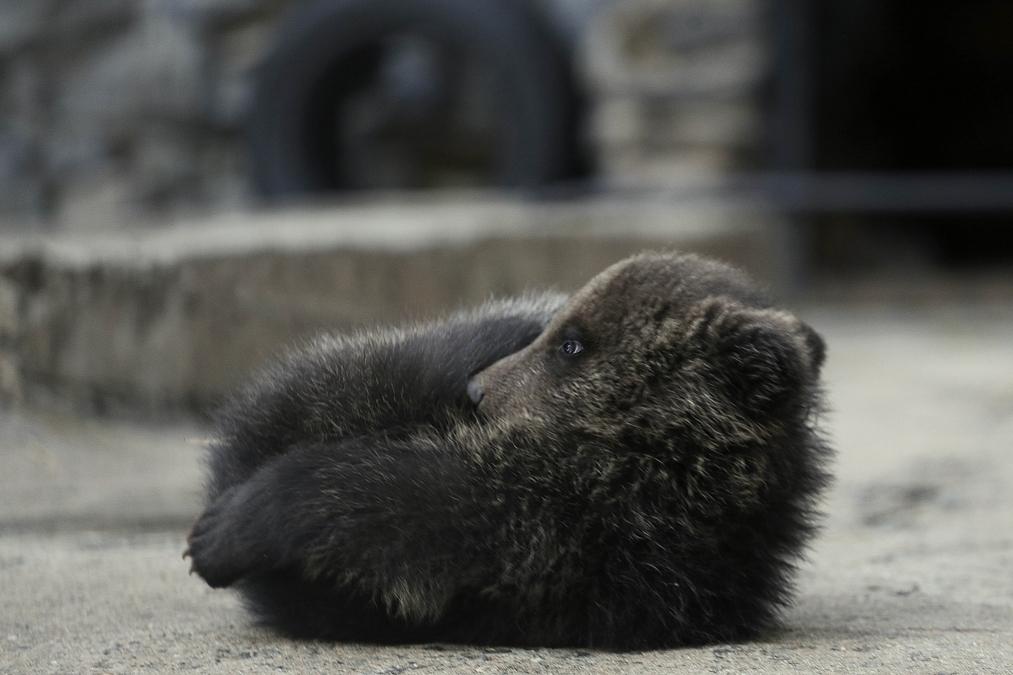 медведь медвежонок сараев фото