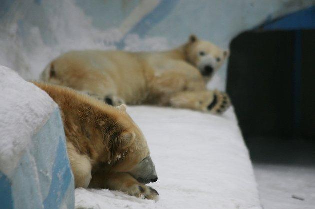 Новосибирские медведи Кай иГерда получили мячики изГермании