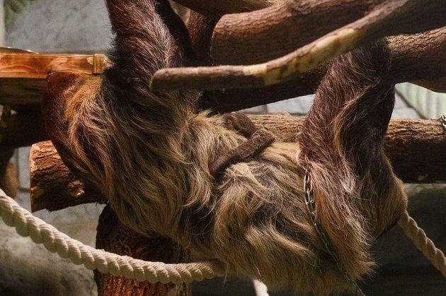 Детёныш двупалых ленивцев впервый раз родился вНовосибирском зоопарке