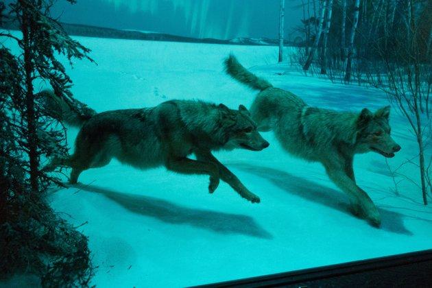 Неменее 500 волков убили в2015г. наАлтае