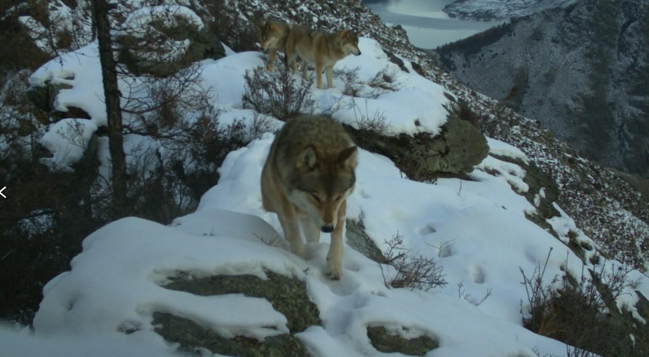 Волки охотятся стаей