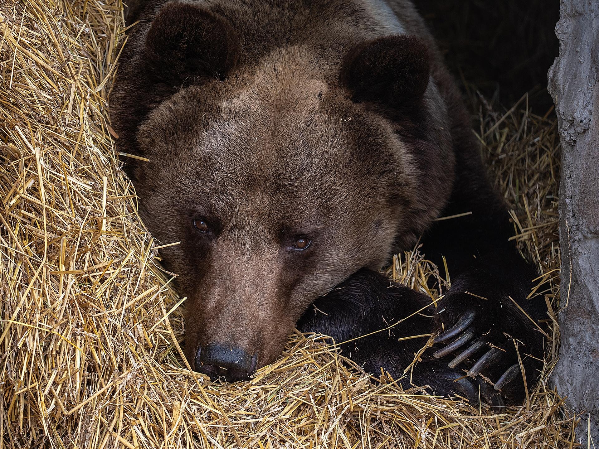 Бурый медведь лег спать