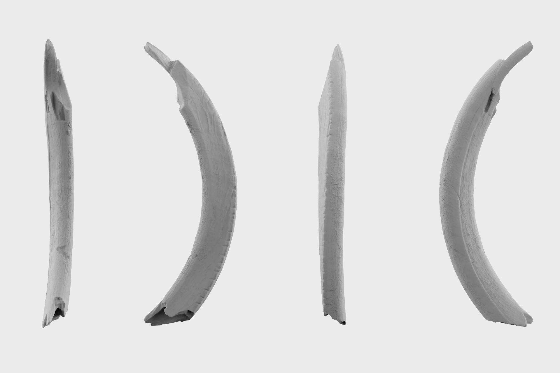 Орнаментированный зуб суслика