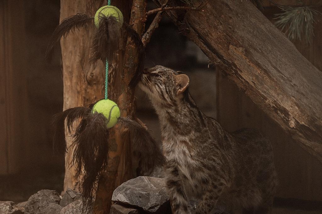 Игрушки в клетке кошек Жоффруа в Новосибисрком зоопарке